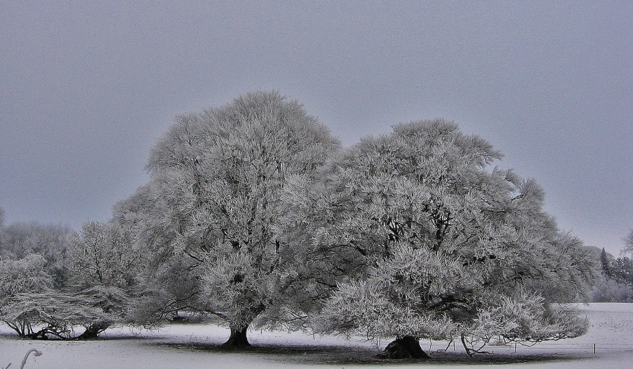 Frozen Snow Trees