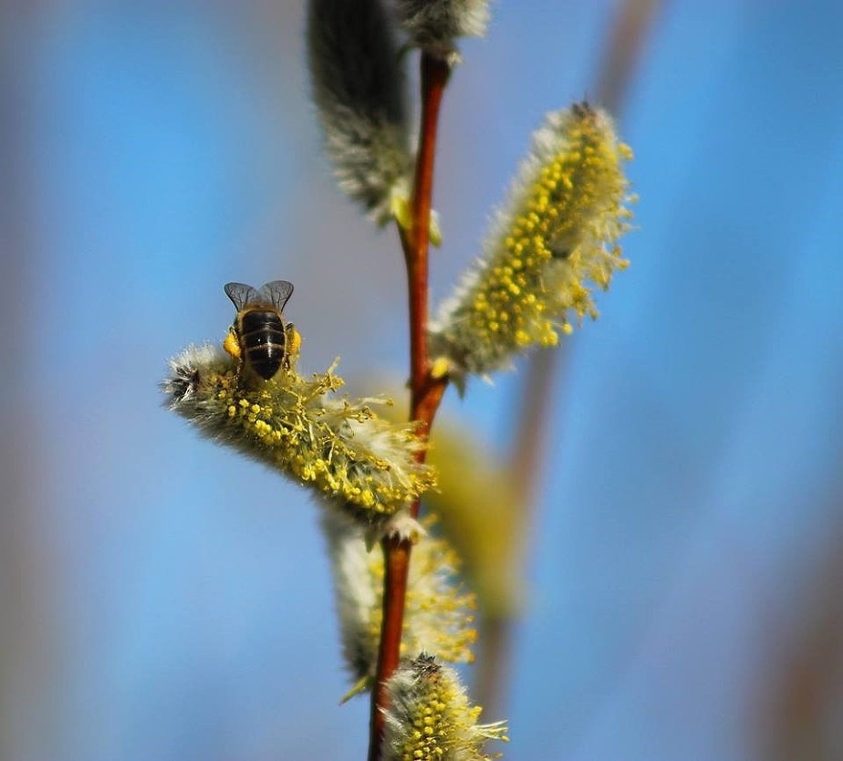 Bees and Willow, ( photo: Jonathan Shackleton) March 2015